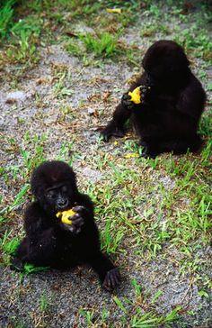 baby gorillas eating mangoes in Gabon Gabon Travel Honeymoon Backpack Backpacking Vacation Budget Bucket List Wanderlust Primates, Mammals, Baby Animals, Cute Animals, Baby Gorillas, African Life, Out Of Africa, Mundo Animal, African Countries