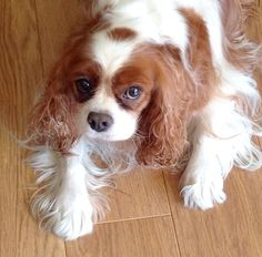 Emma Jane, Blenheim Cavalier King Charles Spaniel and mascot of Belle and Buttercup