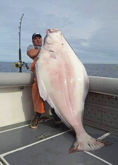 Fisherman opts to keep massive, 231-pound halibut Given option of a free fishing trip to release fish, angler Dirk Whitsitt decides to take fish home; takes three shots from a .38 special to subdue trophy fish