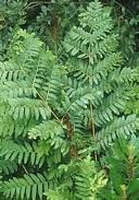 Osmunda Regalis Common Name: Royal Fern. Partial Shade Plants, Common Names, Perennials, Plant Leaves, Herbs, Blood Pressure, Alternative, Yard, Lemon Balm