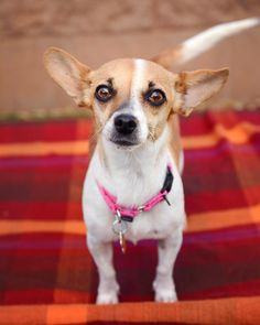 Sedona, AZ: Paisley is teeny tiny and looking for a home where she feels safe and loved. Not much is known about her history, but she is afraid of men and timid around new people. It takes her a little time to bond, but when she does, she loves SO hard! She totally comes to life when she feels safe. Paisley is very generous with kisses and does the best zoomies!! Isn't she just the cutest lil' thing? Email the shelter at info@humanesocietyofsedona.org to find out more and #AdoptPureLove!