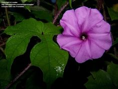 Brazilian Morning Glory  - Summer 2005, Brooksville, FL - Very unusual and vigorous vine - Love the red/purple stem that adds color even when not blooming!
