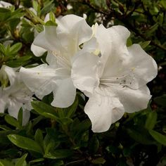 Encore Azalea White Autumn Ivory Flowering Shrub in Pot at Lowe's. The Encore Azalea Autumn Ivory is a re-blooming dwarf variety that can bloom up to 3 time per year; This compact growing shrub Container Plants, Container Gardening, Evergreen Flowering Shrubs, White Azalea, Dwarf Shrubs, Shade Shrubs, Foundation Planting, Rose Of Sharon, How To Attract Hummingbirds