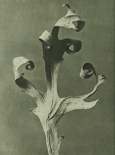 Karl Blossfeldt original botanicals from Urformen der Kunst. Blossfeldt, a sculpture professor used close up photography of plants to inspire his art students with natural form Karl Blossfeldt, Berlin, Natural Form Art, Photo Pattern, Photography Exhibition, Patterns In Nature, Botanical Prints, Studio, Artist At Work