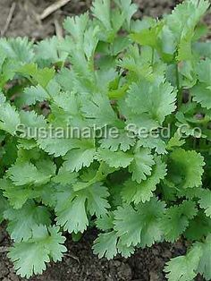 Coriandrum sativum  Organic Cilantro Santo Herb Seed    .25 g Pkg about 30 seeds         One of the fastest growing but slowest-to-bolt types for main-season cilantro crops.    Perfect for the kitchen chef and the farmer's market grower. $2.75