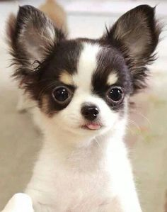 Effective Potty Training Chihuahua Consistency Is Key Ideas. Brilliant Potty Training Chihuahua Consistency Is Key Ideas. Puppies And Kitties, Cute Cats And Dogs, I Love Dogs, Cute Puppies, Doggies, Cute Baby Animals, Funny Animals, Animals And Pets, Chihuahua Love