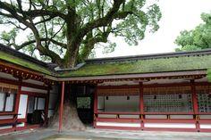 太宰府天満宮 巨樹が突き抜けてます