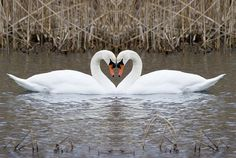 Rodney can shapeshift, so he can turn into a swan, and Kate's father is a son of Apollo. One of Apollo's sacred animals is a swan, so Kate can turn into a swan as well. Swan Love, Beautiful Swan, Beautiful Birds, Animals Beautiful, Simply Beautiful, Animals And Pets, Cute Animals, Wild Animals, Baby Animals
