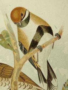 1891 Antique fine Broinowski lithograph of BIRDS OF AUSTRALIA: Cinclosoma, Ground-Thrush, Mountain Thrush. 122 years old gorgeous print.