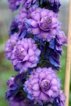 Delphinium Highlander™Series hybrid Sweet Sensation- (One of my favorite perrenials) These blue-green-tinged multi-petalled whorled flowers in deep royal mauve stand proudly upright on stems. The stunning bud starts out dark purple. The sturdy flower Amazing Flowers, My Flower, Purple Flowers, Beautiful Flowers, Beautiful Gorgeous, Colorful Roses, Cactus Flower, Exotic Flowers, Yellow Roses