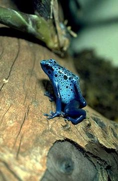 Poison Dart Frog by I Love Animals & Nature