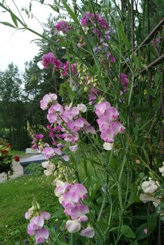 Erteblomster - hage Art Courses, Planters, Garden, Flowers, Pictures, Garten, Lawn And Garden, Gardens, Plant