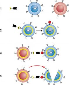 Scientists at the National Institutes of Health (NIH) have created a protein that awakens resting immune cells infected with HIV and facilitates their destruction in laboratory studies. The protein potentially could contribute to a cure for HIV infection by helping deplete the reservoir of long-lived, latently HIV-infected cells that can start making the virus when a person stops taking anti-HIV drugs. Further studies in animals and people are needed to determine the viability of this…