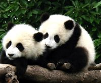 Panda Reise, Panda, Chengdu Reisen, Großer Panda Aufzuchtstation, Chengdu