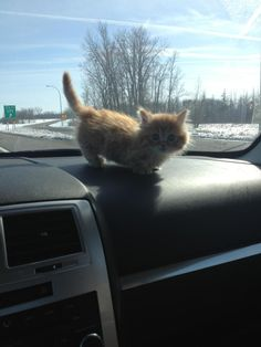 Not a puppy. But a midget cat! Funny Animal Quotes, Cute Funny Animals, Cute Cats, Funny Cats, Puppies And Kitties, Cats And Kittens, I Love Cats, Crazy Cats, Midget Cat