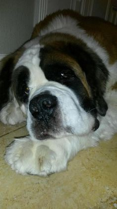 Meet Tonka Girl, an adoptable Saint Bernard St. Bernard looking for a forever home. If you're looking for a new pet to adopt or want information on how to get involved with adoptable pets, Petfinder.com is a great resource.