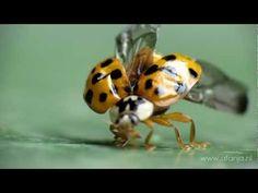 ▶ Het lieveheersbeestje en de vleugelvouwles - YouTube
