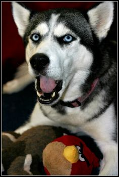 Myah Says Woof by MissNioniel on deviantart.  Siberian Husky.
