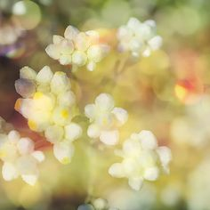 Nature Photography Fine Art Ethereal White Flower by AsqewCreative, $40.00