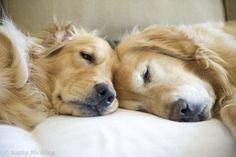 sleepy golden