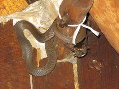 Mozambique Cobra snake swallowing a bat