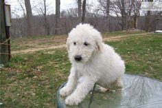 koomoodor dog | Meet Lucky a cute Komondor puppy for sale for $500. akc Komondor male