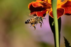 Bees are incredible social hardworking insects. From drones, working bees to the queen bee, everyone has a role. They are responsible for of pollination worldwide. How To Preserve Leaves, Flying Insects, Bee Pollen, Organic Gardening Tips, Save The Bees, Raising Chickens, Keeping Chickens, Busy Bee, Bee Keeping
