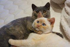 Britisch Kurzhaar (BKH) Kitten und Britisch Langhaar Katzenbabys: April 2012