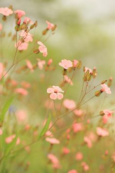 Flowers soft tones  Summer's Song by Pink Sherbet Photography on Flickr.