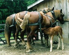 American Suffolk Horse Association - Photo Album Page Big Horses, Work Horses, Horses And Dogs, White Horses, Horse Love, All The Pretty Horses, Beautiful Horses, Suffolk Punch, Clydesdale