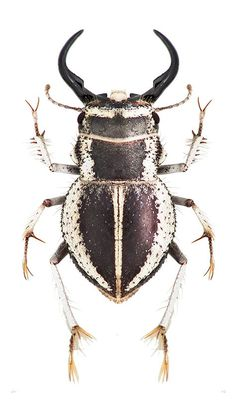 0eeba63016781ce15ab06dd002aef53c.jpg (475×813) Beetle Insect, Insect Art, Beetle Bug, Weird Insects, Bugs And Insects, Especie Animal, Beautiful Bugs, Animals Beautiful, Cool Bugs