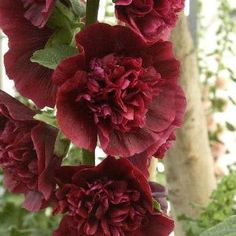 gefüllte Stockrose, Alcea rosea 'Pleniflora rot'