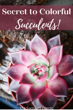 Have you ever fallen in love with a colorful succulent, buy it, bring it home, and soon, it turns green? Learn what makes succulents more colorful and how to bring out their best colors! #succulentcare #colorfulsucculents #succulents #succulentstress Succulent Potting Mix, Succulent Care, Colorful Succulents, Planting Succulents, Indoor Cactus, Indoor Plants, Types Of Stress, Plant Tissue, Lower Lights
