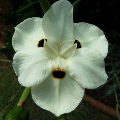 Dietes bicolor - Iris espagnol