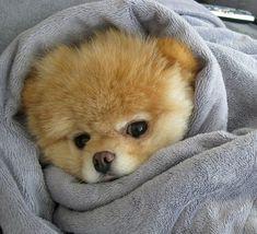 Boo, the world's cutest dog.  I want a doggie like him.