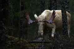"""Albino Moose"" by Johan Brunzell"