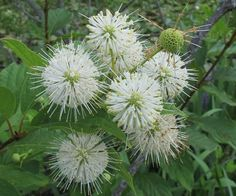 Buttonbush (Cephalanthus occidentalis) has white starburst flowers in summer that are very popular with butterflies. Miri~ Behnke's Woody Plant Buyer