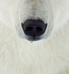 A drip falls from the nose of a male polar bear. Although this male still had a lot of growing to do, the largest male polar bears can…