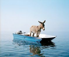 A donkey on a boat photographed by Paola Pivi at the coast of the island Alicudi (Italy).