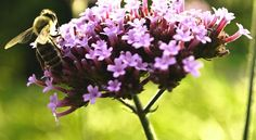 Jardin : 10 fleurs mellifères à planter pour aider les abeilles #fleurs #abeilles #melliferes #insectes #plantes