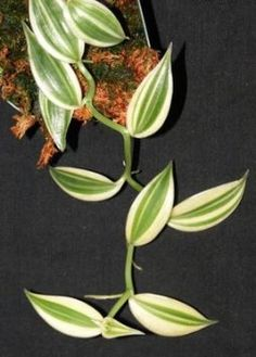 variegated hanging plant Vanilla Bean Orchid leaf - Google Search