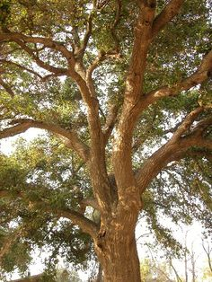We had a huge California oak tree in our front yard it was an amazing Climbing tree. To get up there and see the whole town was awesome.