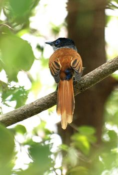 Papa-moscas de São Tomé (fêmea), Tomé-gágá/Jégue-jégue, São Tome Paradise Flycatcher (Tersiphone atrochalybeia); ST