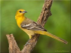 Hooded Oriole - Google Search