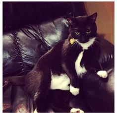 cute tuxedo cat - looks just like Spencer!