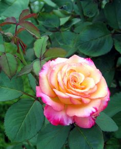 amazing rose, 'Dream Come True' Grandiflora, as it ages it becomes completely the bright pink-magenta color on petal edges, with just touches of the yellow/pink peeking out from the interior