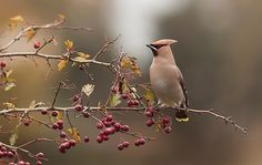 These waxwing birds always look like they've been airbrushed, they're so smooth.