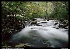 Fluid stream with and dogwoods trees in spring, Treemont, Tennessee. Great Smoky Mountains National Park,Part of gallery of color pictures of US National Parks by professional photographer QT Luong, available as prints or for licensing. Dogwood Trees, Park Pictures, Us National Parks, Great Smoky Mountains, Colorful Pictures, Picture Photo, Tennessee, Waterfall, Stock Photos
