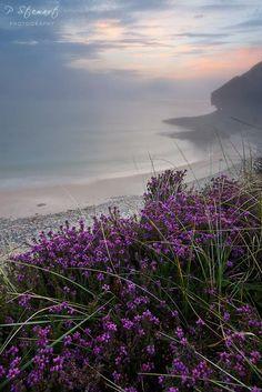 Wild Heather at sunrise on the cliffs of Cove Bay, Moray, northeast coast, Scotland.