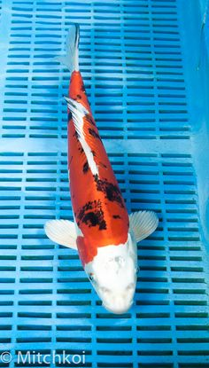 A superb Yamatonishiki. This koi has a rich metallic lustre, with vibrant orange and inky black pattern.  These metallic Sanke variety add style and class to any koi collection.  Size: 36cm (14